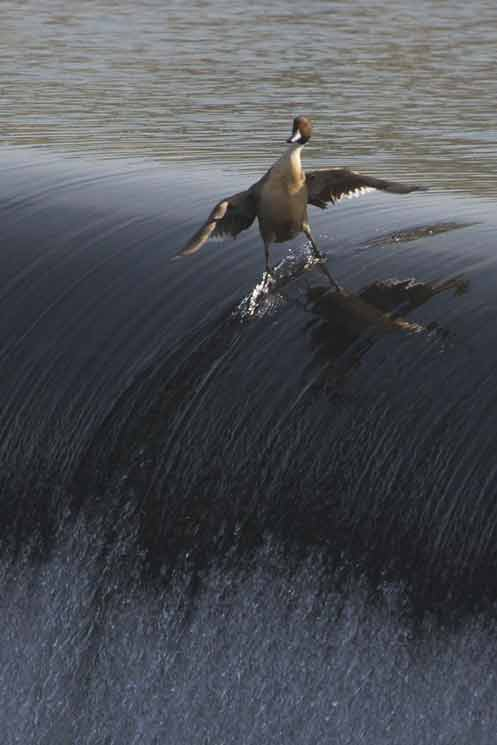 Signification Reves surf canard
